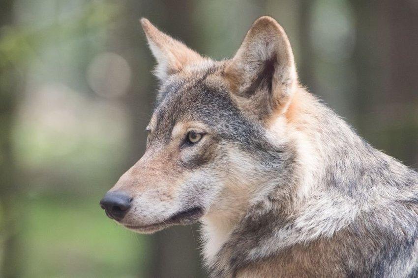 large vlk cea