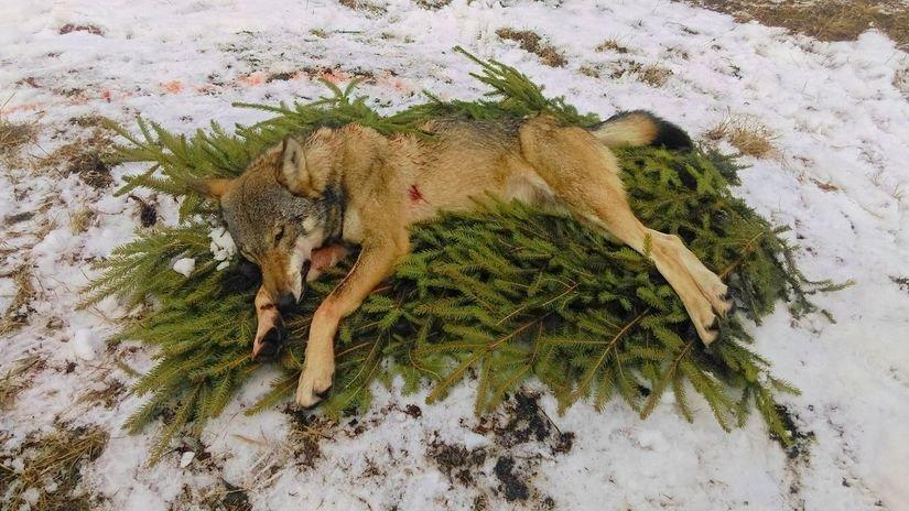 vlk odstrel tanap lov clanok W babb
