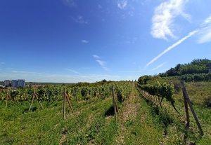 vinice v okoli